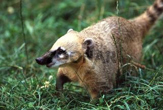 Suedamerikanischer Nasenbaer, Coatimundi, Nasua Nasua, Hog-nosed Coon, South America