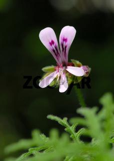 Pelargonium Hybride