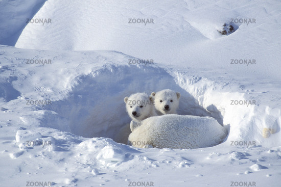 Eisbbaer, Junge, cubs, Churchill, Manitoba, Kanada,  Polarbaer