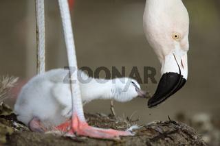 chileflamingo, chilenischer flamingo, phoenicopterus chilensis, chilean flamingo