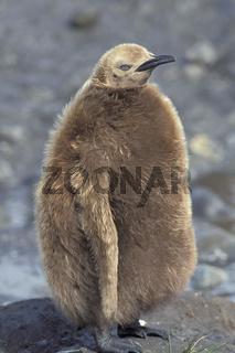 King penguin, Koenigspinguin,