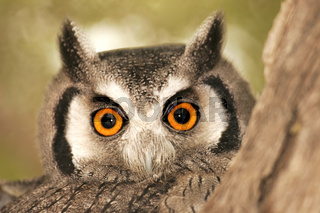 weissgesichtseule, white faced owl, ptilopsis granti, south africa, suedafrika