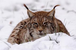 Luchs, lynx lynx, Europe