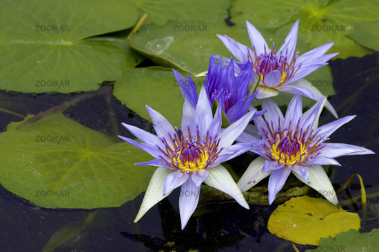 three water lilies