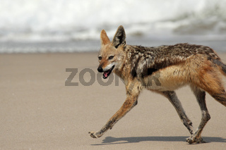 Schabrackenschakal (Canis mesomelas); Black-backed Jackal