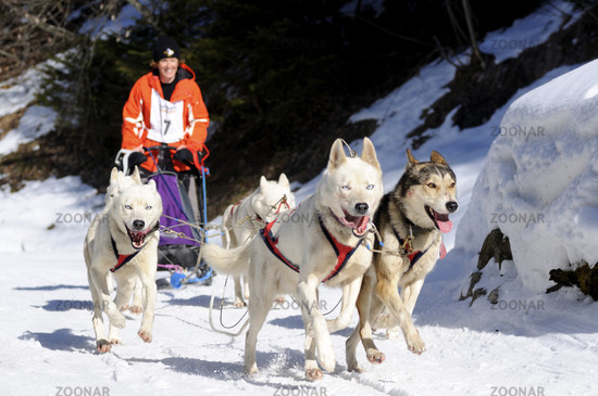 Sled dog team at a competition