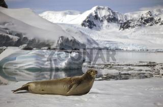 Krabbenfresserrobbe, Lobodon carcinophagus, Crab-eater Seal