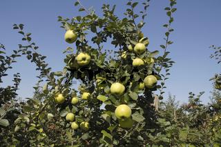 Quince, fruits on tree, Konstantinopel, Cydonia oblonga, Quittenfruechte am Baum, Apfelquitte
