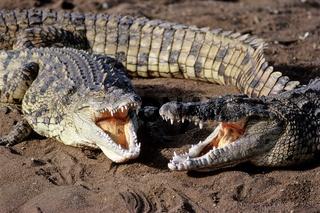 Nile Crocodile, Crocodylus niloticus, Masai Mara, Kenia, Afrika