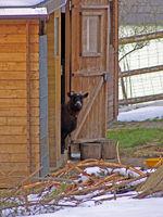 Ziege schaut aus dem Stall