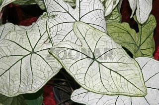 Caladium bicolor, Kaladie