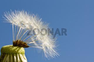 Löwenzahn Samen Pusteblume Dandelion