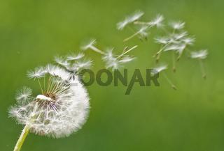 Pusteblume Löwenzahn Dandelion