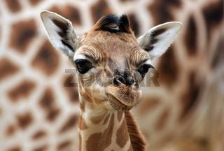 Giraffenjunges Portrait