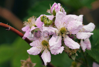 Brombeerblüten - Rubus