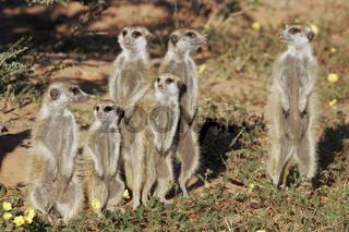 Erdmaennchen, Suedafrika