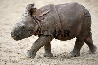Panzernashorn, Rhinocerus unicornis, Great Indian Rhinoceros, Great One-horned Rhinoceros
