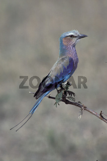 gabelracke, coracias caudatus, lilac-breasted roller