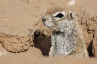 Afrikanisches Erdhoernchen, Ground Squirrel, South Africa, Sued-Afrika