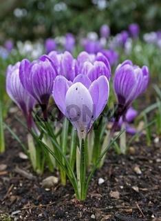 Krokusse, Crocus, Frühling, Spring
