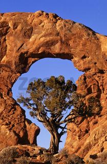arche, bogen, juniper pine, juniperus osteosperm, entrada sandstone, kiefer, arches Nationalpark, Utah, USA
