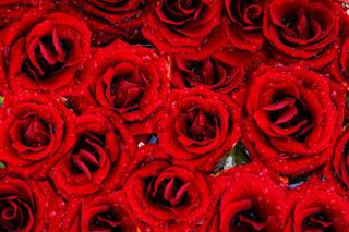 Rote Rosen - red rose