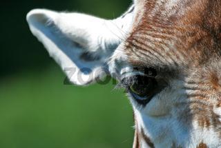 Giraffendetail