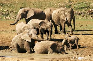 addo elephant national park, south africa, suedafrika Afrikanischer Elefant, african elephant