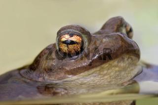 Erdkröte 'bufo bufo'