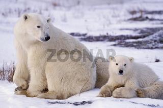 Polar bear, Eisbaer, Eisbaer, Ursus maritimus, Churchill, Canada, Kanada
