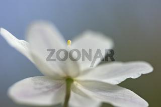 Buschwindroeschen, anemone nemorosa, wood anemone, windflower, smell fox, anemone sylvie,