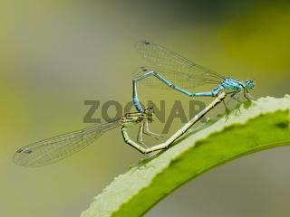 Blaue Libelle bei der Befruchtung -