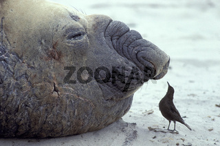 Southern elephant seal & Tussac bird, Einfarb-Uferwipper, Russbrauner-Uferwipper, Cinclodes antarcticus, Blackish Cinclodes suedlicher see elefant, mirounga leonina, southern elephant seal