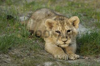 Junger Asiatischer Loewe, Asian Lion cub (Panthera leo persica)
