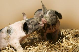 Hallisches Schwein