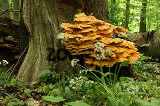 Schwefelporling / Laetiporus sulphureus