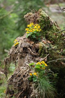 kingcup, marsh marigold, sumpfdotterblume, caltha palustris, np bavarian forest, bayrischer wald, bayner, bavaria, germany, deutschland,