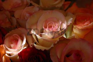 Rosen im Sonnenstrahl