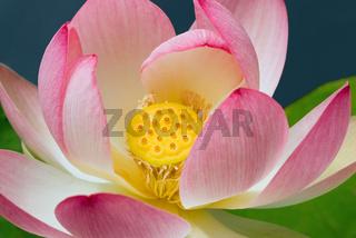 Lotusbluete im Teich -