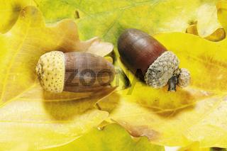 eiche,eichen,  quercus, oak, oaktree, roble, chene, laubbaum, laubbaeume,eicheln, eichenlaub, eichenzweig, stiel-eiche, quercus rubor