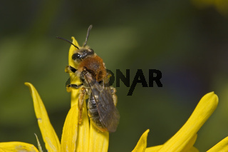 Rotschopfige Sandbiene 'Andrena haemorrhoa'