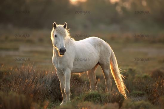 Camargue horse, Camargue, France