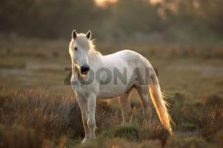 Camargue-Pferd bei Gegenlicht Camargue horse against the light