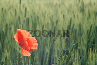 Mohn im Getreidefeld