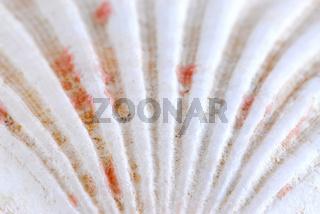 Seashell surface