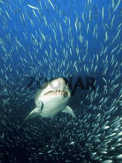 Sandtigerhai im Fischschwarm, Gray nurse shark, sand tiger shark, in school of fish, Carcharias taurus