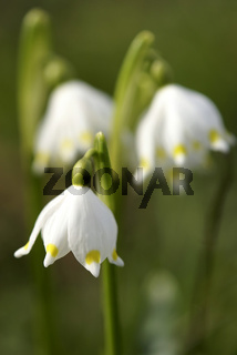 Frühlingsknotenblume, Leucojum vernum