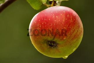 Malus - Apfel