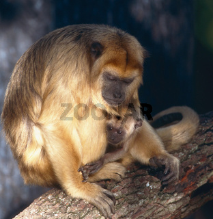 mantelbruellaffe, alouatta palliata, mantled howler, golden-mantled howling monkey , muttertier, mutter, weibchen, female, mit jungtier, baby, nachwuchs, mother with baby, young animal, , jungtier, young animal, baby