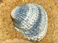 Muschel - seaschell